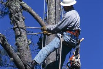 Professional gear is necessary to safely prune tree limbs above the ground.