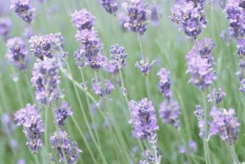 English lavender produces purple flowers in the spring and summer.