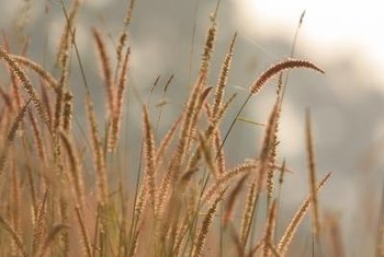Ornamental grasses don't need much maintenance.