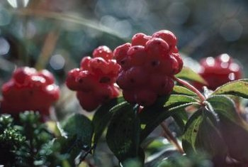 Elderberry shrubs quickly grow into attractive ornamental plants.
