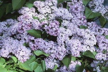 Dwarf lilac varieties combine fragrance with an affinity for smaller spaces.