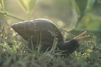 Quick action is required to minimize snail damage.