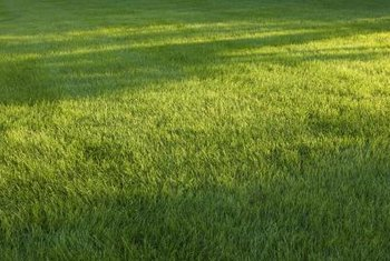 Shade reduces photosynthesis processes in grass.