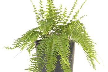 New Boston fern fronds grow straight and droop with age.