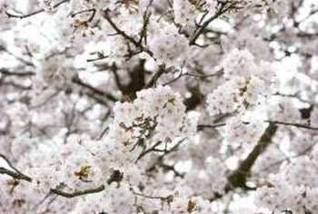 White cherry blossoms in the spring can make a dramatic appearance.