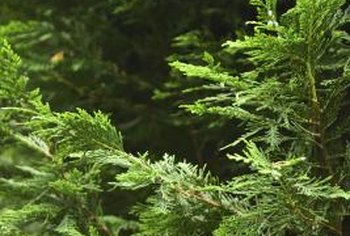 Cedar tree leaves are flat, fan-shaped needles.