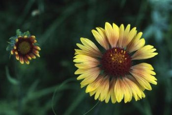 Gaillardias resemble daisies with their colorful petals.