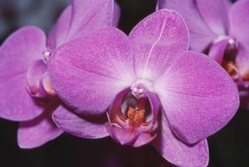 Moth orchids are the most commonly grown orchids.