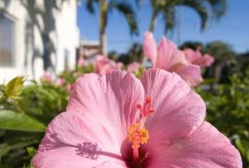 Hibiscus flowers thrive in tropical environments with full sun.