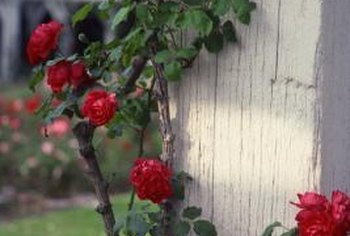 Stakes can easily provide support for leggy rose stems.