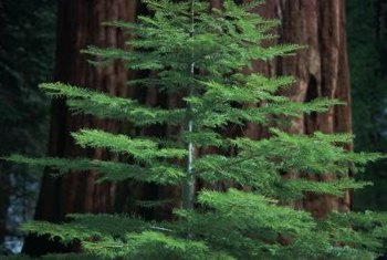 Young giant redwoods benefit from yearly feeding.