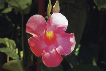 Mandevilla flowers are pink, white or red.