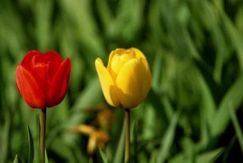 A bit of bone meal goes a long way to fertilize tulips.