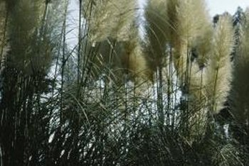 Pink pampas grass is known for its dusty pink, feathery plumes.