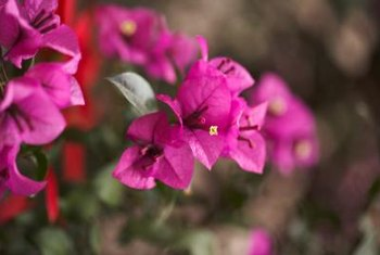 The tropical blooms of the bougainvillea can be cut and placed in glass vases or used in bouquets.