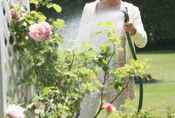 Proper watering keeps roses healthy and reduces the chance of problems.
