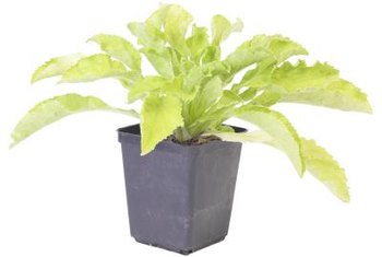 Start with clean soil for container vegetables to help control fungus gnats.