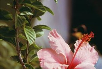 Hibiscus adds a tropical feel to the landscape.