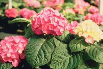 Pink hydrangea plants should be sheltered from the wind to protect the delicate flowers.
