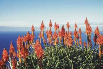 Aloe veras will flower outdoors in mild Mediterranean climates.