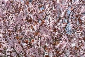 Healthy flowering cherry trees bear and abundance of showy flowers.