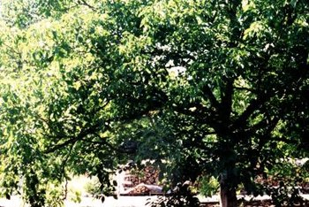 Carpathian walnut trees can grow 40 to 60 feet tall and wide.