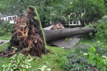Winds above 85 mph can uproot many large trees.