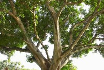 Ficus species in the wild can grow up to 100 feet in size.