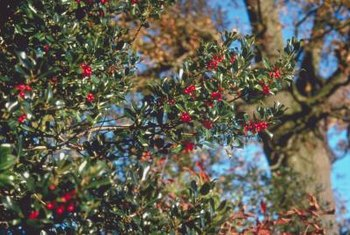 Hollies are green and covered with red berries in winter.