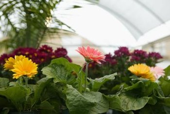 Gerbera daisies are often grown indoors.