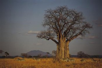 Baobab or bottle trees have massive water-storing trunks.