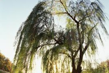 The natural rooting elements of willow were discovered by Native Americans and early settlers.