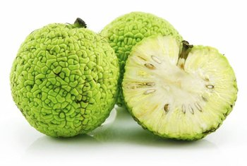 Osage orange fruit consists of druplets, each containing one seed.