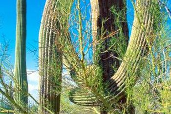 Desert natives, palo verde trees prefer soil that's loose and sandy.