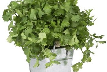 Potted cilantro makes a flavorful addition to a window garden.