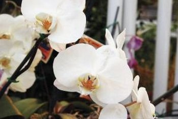 White petals attract moths for pollination to Phalaenopsis blooms.