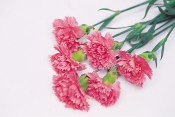 Carnations aren't just for dinner jackets -- they can dress up your garden, too.