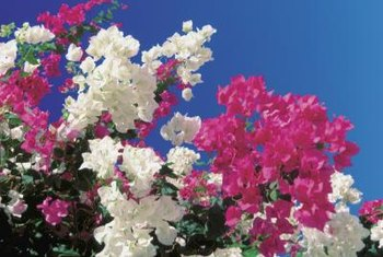 Bougainvillea's true flowers are tiny but surrounded by colorful bracts.