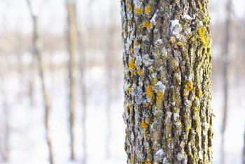 Lichens tend to grow on sun-exposed tree trunks.