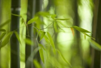 Bamboo creates dense stands of greenery in a landscape.