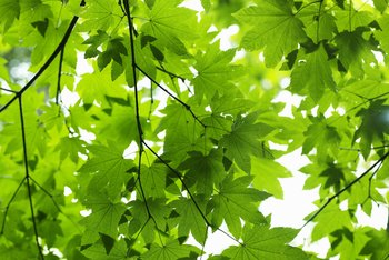Sycamore trees have distinctive, large leaves.