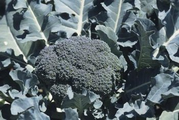 Caterpillars might munch on your broccoli's leaves.