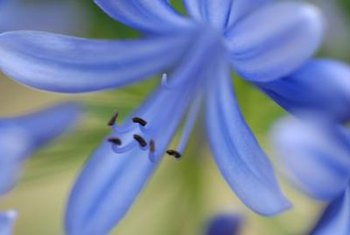 Agapanthus is a close relative of the amaryllis.