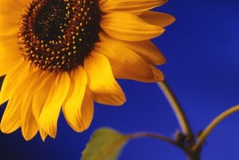 Sunflowers grow tall, straight and narrow.