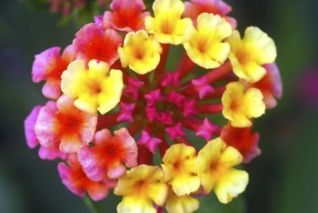 New lantana blooms are light in color and darken as they age.