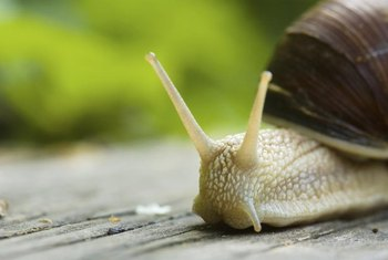 Adult snails can lay up to 80 eggs six times per year.