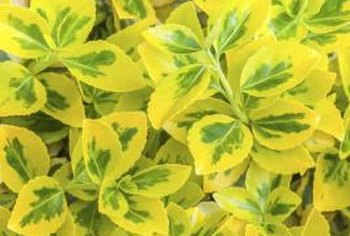 Green and yellow wintercreeper leaves make striking additions to floral arrangements.