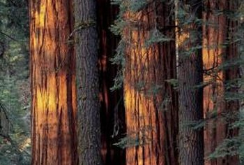 Redwoods are noted for their reddish-brown trunks and considerable height.