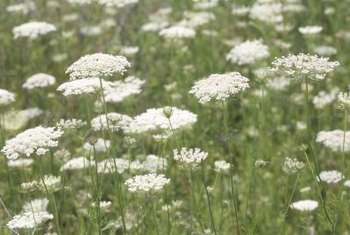 Queen Anne's lace is also called wild carrot.