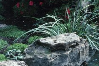 A rocky location with planting pockets that can be kept moist is ideal for Peter Pan saxifraga.
